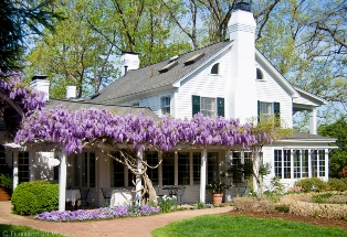 wisteria is a fragrant choice for your cottage garden