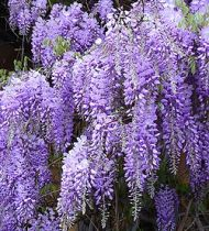 wisteria for a cottage garden